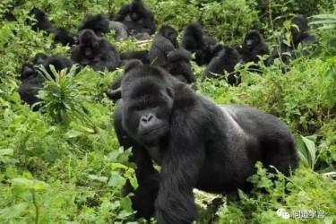 听说印度的猴子,会在腊八这天变成猩猩